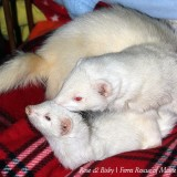 Featured Ferrets:  Rose & Thisby