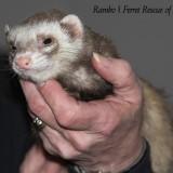 Featured Ferret: Rambo
